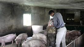 Nghệ An với các giải pháp khôi phục đàn lợn sau dịch tả châu Phi
