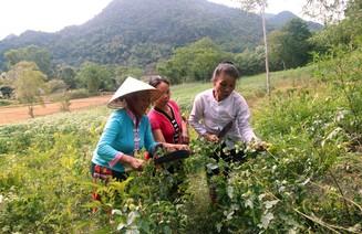 Ngày Tết Đoan Ngọ người Thái lên rừng hái thuốc chữa bệnh
