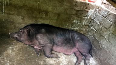 Dịch tả lợn châu Phi tái phát trên địa bàn 3 xã, thị trấn của huyện vùng cao Nghệ An