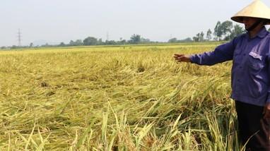 Nghệ An: Máy gặt 'mắc dịch' không về, nhiều đồng lúa chín rũ không thu hoạch kịp