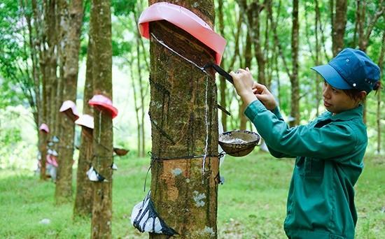 Sau 8 năm trồng trên đất Anh Sơn, cây cao su đã cho mủ. Ảnh minh họa.