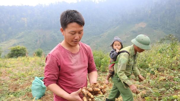 Doanh nghiệp ở Nghệ An đầu tư trồng gừng xuất khẩu ở Kỳ Sơn. Ảnh: Lữ Phú