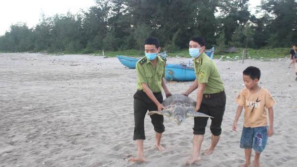 Video: Thả rùa quý hiếm nặng hơn 32 kg về biển