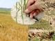 Đồng ruộng cháy khô, nhiều địa phương chậm tiến độ gieo cấy hè thu