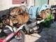 18 tháng tù cho chủ mưu đường dây bắt trộm cả nghìn con chó