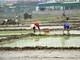 """Nhiều nông dân ở Nghệ An """"phá lịch"""" cấy sớm"""