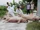 Quy chuẩn phòng, chống dịch tả lợn châu Phi