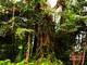 Xem cây đa trăm tuổi trổ hoa ở Nghệ An