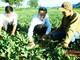 Phát huy vai trò tổ hợp tác thanh niên phát triển kinh tế