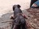 Kỳ dị lợn 6 chân ở Nghệ An