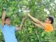 Bưởi Diễn thành cây trồng chủ lực ở Thanh Chương