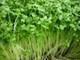 Bí quyết trồng rau mầm an toàn và hiệu quả