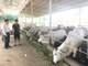 Nông hộ Nghệ An nuôi bò Campuchia thu tiền tỷ