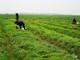 Xanh mướt mắt cánh đồng hành tăm ở Nghi Lộc