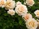 7 loại hoa bạn nên trồng trong sân nhà