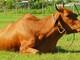Cách chữa trị 4 bệnh thường gặp ở trâu, bò mùa nắng nóng