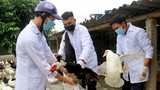 Xuất hiện ổ dịch cúm A/H5N6 trên đàn gia cầm tại Nghệ An
