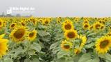Cánh đồng hoa hướng dương Nghệ An sẽ rộng hơn, cây cao hơn những năm trước