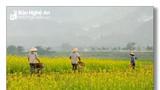Nao lòng với sắc vàng mùa hoa cải ven sông Lam