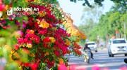 Hoa giấy rực rỡ dưới cái nắng thành Vinh