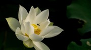 Bâng khuâng mùa sen trắng chào hè