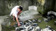 Nghệ An: Nuôi rùa sinh sản trong bể ở vườn nhà, thu hàng trăm triệu mỗi năm