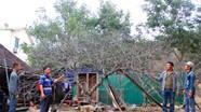 Đào rừng 'khủng' ở Nghệ An được chào giá 50 triệu đồng