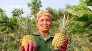 Vào vụ thu hoạch chính, dứa 'nữ hoàng' ở Nghệ An lên ngôi