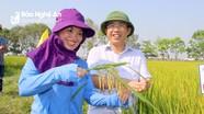 Nghệ An: Giống lúa Hương thuần 8 đạt năng suất gần 70 tạ/ha