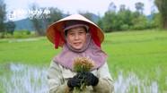 Hàng ngàn héc ta lúa ở Nghệ An được cứu nhờ đợt 'mưa vàng' sau bão