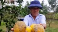 Nông dân Nghệ An 'khóc ròng' vì giống cam tiến vua rụng quả hàng loạt sau mưa lũ