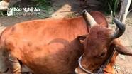 Bùng phát thêm ổ dịch viêm da nổi cục trên trâu, bò ở TP.Vinh