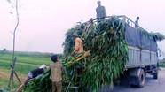 Hàng trăm tấn ngô xuân gãy đổ ở Nghệ An được 'giải cứu'