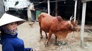 Địa phương thứ 18 ở Nghệ An xuất hiện dịch viêm da nổi cục