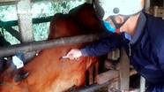 Nghệ An ứng phó khẩn cấp với bệnh Viêm da nổi cục trâu, bò