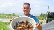 Anh nông dân huyện lúa Yên Thành (Nghệ An) thu bộn tiền nhờ 'thả' cua trên ruộng