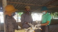 Xuất hiện ổ dịch cúm gia cầm Diễn Châu