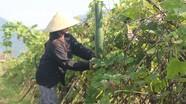 Nghệ An gieo trồng trên 38.500 ha cây trồng vụ đông