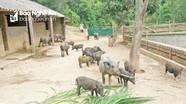 Nghệ An: Chăn nuôi VietGAP chiếm ưu thế