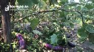 Cà dừa tím rớt giá kỷ lục, người dân bỏ rụng đầy ruộng