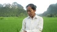 Gần 200 ha lúa xuân ở Con Cuông bị vàng, khô đầu lá