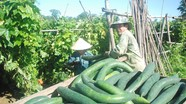 Bí xanh kịch giá, nông dân thu 600 triệu đồng/ ha