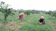 Trồng hành tăm trên đất đồi, nông dân Anh Sơn thu hàng trăm triệu mỗi ha