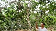 Người dân thất thu khoảng 15 tỷ đồng do bưởi hồng Quang Tiến mất mùa
