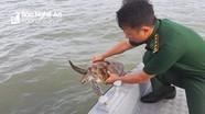 Nghệ An: Thả cá thể rùa nằm trong danh sách đỏ về biển