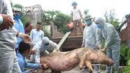 Diễn biến dịch tả lợn châu Phi: Hết ở Nghi Lộc, tái phát ở Tân Kỳ