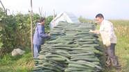 Nông dân Anh Sơn trồng bí xanh trái vụ trên đất ruộng đạt giá cao kỷ lục
