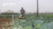 Nghệ An: Hàng trăm ha su su, rau xanh chất đống ngoài đồng vì không bán được