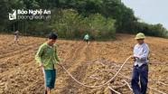 Nông dân Nghĩa Đàn thuê hàng chục ha đất trồng dưa hấu