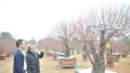 Nghệ An: Dịch vụ cho thuê đào, quất 'khủng' chơi Tết hút khách